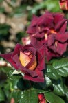 Dark_Night_Rose_50380dcf37726.jpg