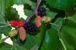 dwarf-bush-mulberry